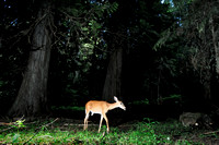 White-tailed deer doe (Odocoileus virginianus) in Western redcedar (Thuja plicata) forest in early morning, Idaho, USA  (camera trap with flashes)