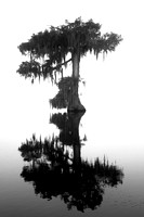 Bald cypress (Taxodium distichum), Lake Martin, Louisiana, USA