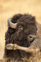Bison (Bison bison) grooming and taking dust bath, Montana, USA