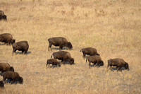 Bison (Bison bison) herd on grassy slope, Montana, USA
