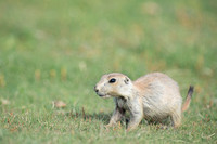 Black-tailed prairie dog (Cynomys ludovicianus), Wyoming, USA