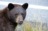 Black bear (Ursus americanus) next to road, Wyoming, USA