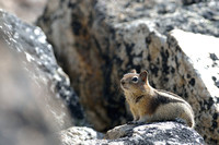 Golden-mantled ground squirrel (Callospermophilus lateralis), Montana, USA
