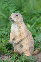 Black-tailed prairie dog (Cynomys ludovicianus), South Dakota, U