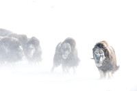 Muskoxen (Ovibos moschatus) return to confront person who distur
