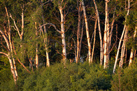Paper birches (Betula papyrifera) in last sunlight, Horicon Marsh National Wildlife Refuge, Wisconsin, USA