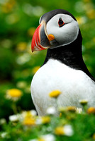 LIMITED EDITION Puffin Fratercula arctica, Wales