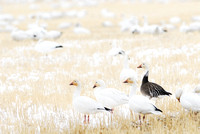 Migrating snow geese (Chen caerulescens), white phase and blue phase, and feeding on grain fields near Freezout Lake, Fairfield, Montana, USA