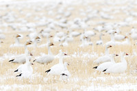 Migrating snow geese (Chen caerulescens) and Ross' geese (Chen rossii), feeding on grain fields near Freezout Lake, Fairfield, Montana, USA