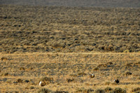 Male sage grouse (Centrocercus urophasianus) congregating in a lek and displaying, near Bannack, Montana, USA