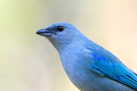 Azure-shouldered tanager