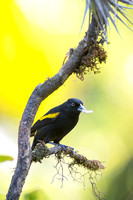 Golden-winged cacique
