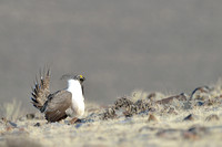 Greater sage-grouse (Centrocercus urophasianus) displaying at lek, Montana, USA
