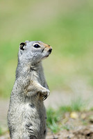 Uinta ground squirrel (Urocitellus armatus), Wyoming, USA