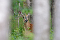 White-tailed deer doe (Odocoileus virginianus) looking through vegetation, Necedah National Wildlife Refuge, Wisconsin, USA