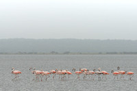 Chilean flamingo (Phoenicopterus chilensis), Lagoa do Peixe, Rio Grande do Sul, Brazil