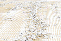 Migrating snow geese (Chen caerulescens) feeding on grain fields near Freezout Lake, Fairfield, Montana, USA