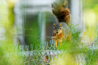 Eastern fox squirrel (Sciurus niger) running on a chainlink fence, Missoula, Montana, USA