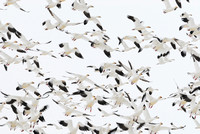 Migrating snow geese (Chen caerulescens) near Freezout Lake, Fairfield, Montana, USA