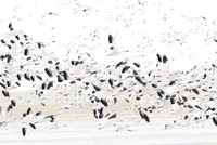 Migrating snow geese (Chen caerulescens) flying above grain fields near Freezout Lake, Fairfield, Montana, USA