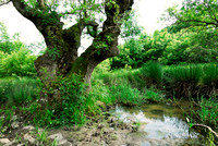 Ancient tree, in wetland, Bulgaria
