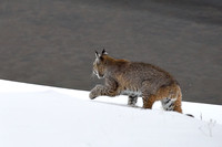 Bobcat (Lynx rufus) in the snow, Wyoming, USA