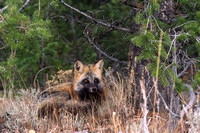 Red fox Vulpes vulpes lying down, Wyoming