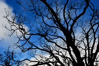Branches of native oak against the sky, Killarney National Park, Ireland