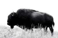 Bison (Bison bison) silhoutted against the sky in a grassland, Montana