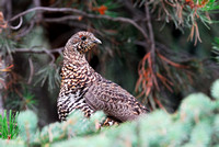 Spruce grouse (Dendragapus canadensis), Idaho, USA