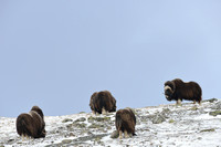 Muskoxen (Ovibos moschatus) in winter, Dovrefjell National Park, Norway