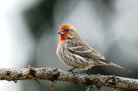 House finch (Carpodacus mexicanus), Missoula, Montana, USA