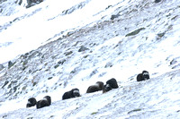 Muskoxen (Ovibos moschatus) cows and calves resting and ruminating, Dovrefjell National Park, Norway