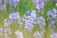 Camas (Camassia quamash), Packer Meadows, Idaho, USA