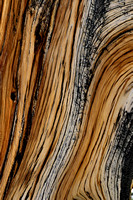 Wood of Great Basin bristlecone pine (Pinus longaeva), White Mountains, California, USA