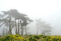 Bishop pine (Pinus muricata) and yellow lupine (Lupinus arboreus), Point Reyes National Seashore, California, USA