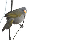 Great pampa-finch (Embernagra platensis)