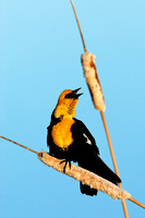 Yellow-headed blackbird (Xanthocephalus xanthocephalus) on cattail (Typha spp.), Montana, USA