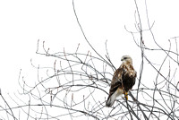 Rough-legged hawk (Buteo lagopus), Montana, USA
