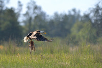 Bald eagle (Haliaeetus leucocephalus) takes off with white-tailed deer fawn (Odocoileus virginianus), Montana, USA