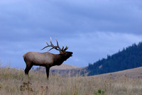 Bull elk (Cervus canadensis) bugling against an evening sky, Montana, USA