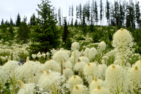 Beargrass (Xerophyllum tenax), Lolo Pass area, Idaho, USA