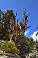 Great Basin bristlecone pine (Pinus longaeva) forest, White Mountains, California, USA
