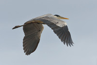 Cocoi heron (Ardea cocoi), South Atlantic Ocean coast at  Lagoa do Peixe, Rio Grande do Sul, Brazil