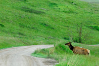 Elk (Cervus canadensis) crossing dirt road