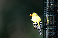 American goldfinch (Carduelis tristis) on the birdfeeder, Missoula, Montana, USA