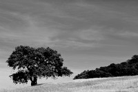 Solitairy oak tree, California, USA