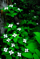Bunchberry Cornus canadensis flowers growing up a tree trunk, Idaho
