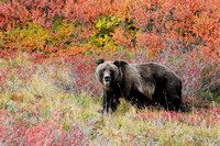 Grizzly bear (Ursus arctos) surrounded by vegetation in fall colors, Alaska, USA
