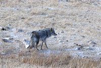 Coyote (Canis latrans) wet after river crossing, Montana, USA
